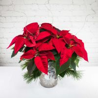 Medium-Short Poinsettia Plant - Silver