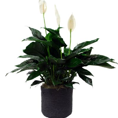 Peace Lily - Upgraded in Ceramic