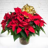 Three Branch Poinsettia Plant