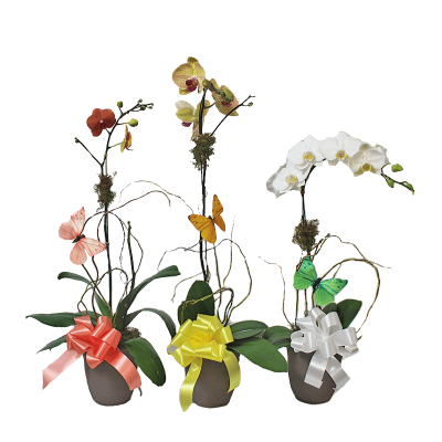 Orchid Plants - Assorted
