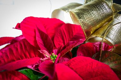 Medium-Short Poinsettia Plant - Gold