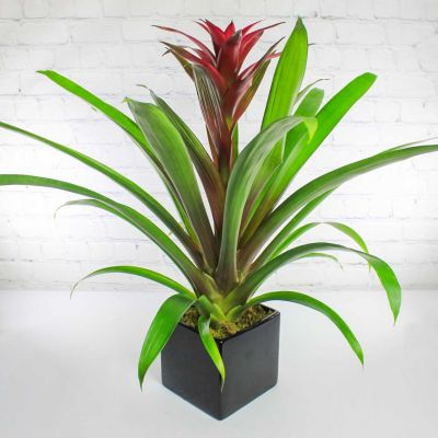 Upgraded Beautiful Bromeliad Plant