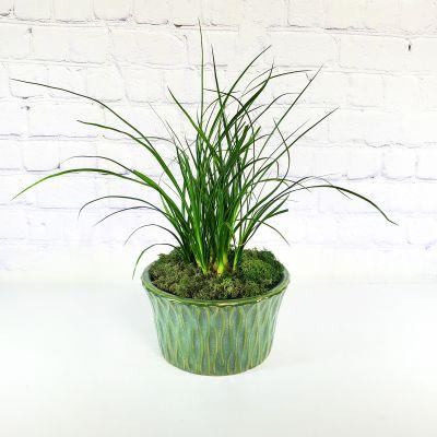 Zen Bonsai Plant Ashland Addison Florist Co