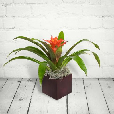 Beautiful Bromeliad Plant