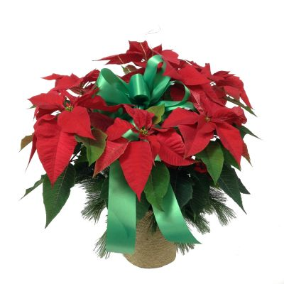 Medium-Tall Poinsettia Plant