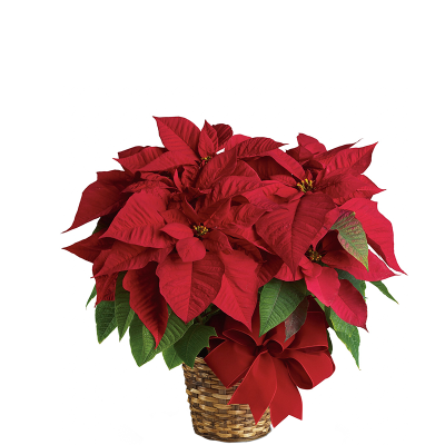 Medium-Short Poinsettia Plant