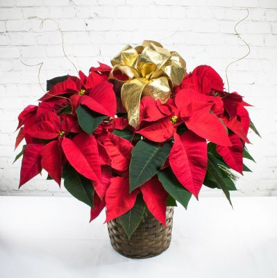 Two Branch Poinsettia Plant - Tall