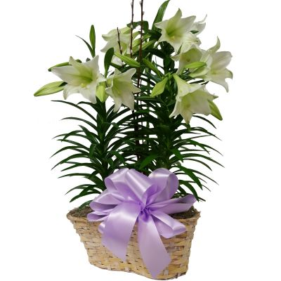 Fresh Easter Lily Plant