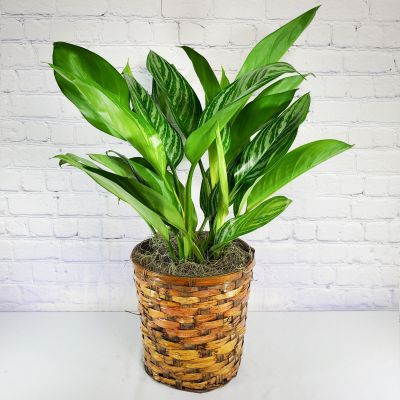Aglaonema Stripes - 8